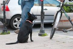 Sammanträde för svart hund som väntar nära en cykel, Campobasso, Molise, Italien Arkivbild