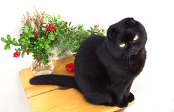 Sammanträde för svart katt på en stol på en vit bakgrund Royaltyfri Bild