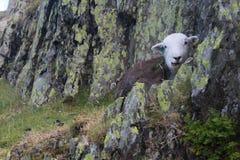 Sammanträde för svarta får vaggar på på en kulle i sjöområdesclosna Arkivbilder