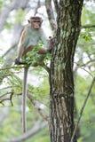 Sammanträde för Toquemacaqueapa på ett träd i naturlig livsmiljö i Sr Arkivfoto