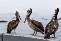 Sammanträde för tre pelikan på balustraden Arkivfoton