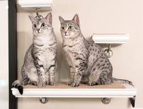 Sammanträde för två gulligt egyptiskt Mau katter på en hylla arkivfoton