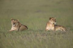 Sammanträde för två lejoninna på en montering på masaien Mara National Park Royaltyfria Bilder