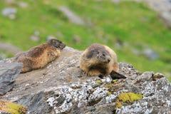 Sammanträde för två murmeldjur på en vagga i Fagaras berg, Rumänien. Royaltyfria Bilder