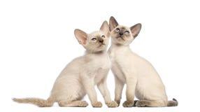 Sammanträde för två orientaliskt Shorthair kattungar Arkivbilder