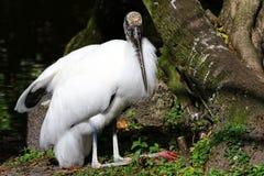 Sammanträde för Wood stork Fotografering för Bildbyråer
