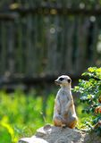 Sammanträde Meerkat Royaltyfria Foton