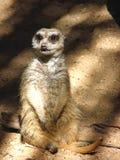 Sammanträde Meerkat royaltyfria bilder