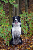 Sammanträdeborder collie hund Royaltyfria Foton