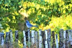 Sammanträdet Stellers för blå nötskrika på ett staket royaltyfria foton