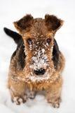 Sammanträde för hund för airedaleterrierterriervalp på snö Arkivbilder