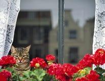 Sammanträde för inhemsk katt bak ett fönster, stirriga outs Royaltyfria Bilder