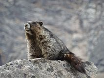 Sammanträde för murmeldjur (marmota) på en vagga Arkivfoto
