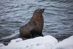 Sammanträde för pälsskyddsremsan på vaggar tvättat av havet, Antarktis Royaltyfria Foton