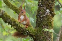 Sammanträde för röd ekorre i ett träd Arkivbilder