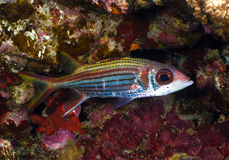 Sammara squirrelfish Stock Images