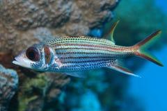 Sammara squirrelfish Royalty Free Stock Photos