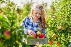 Sammelnäpfel der jungen Frau im Garten Lizenzfreies Stockbild
