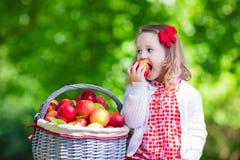 Sammelnäpfel des kleinen Mädchens im Fruchtobstgarten Stockbild