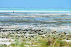 Sammeln der Meerespflanze auf einem tropischen Strand Stockbild