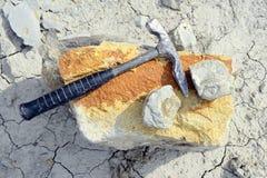 Sammeln des Ammonitfossils stockbilder