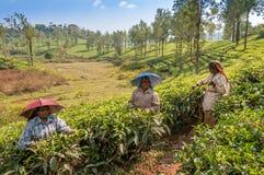 Sammeln des Tees Stockfotos