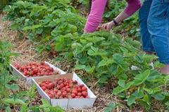 Sammeln-Erdbeeren Lizenzfreie Stockbilder