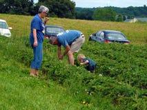 Sammeln-Erdbeeren an einem lokalen Bauernhof Lizenzfreie Stockfotografie
