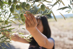 Sammeln-Oliven Lizenzfreies Stockbild