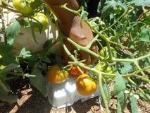 Sammeln-Tomate von eingemachter Tomatenpflanze lizenzfreie stockfotografie