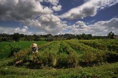Sammeln von Blumen in Indonesien Lizenzfreie Stockfotos