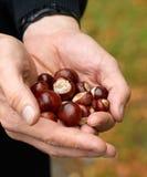 Sammeln von Kastanien im Herbst Stockfoto