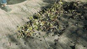 Sammeln von Oliven auf dem Netz, Zeitlupe In Ligurien-, Italien-, Taggiasca- oder Caitellier-Kulturvarietät ernten Olivenölproduk stock footage