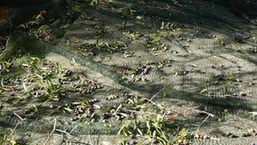 Sammeln von Oliven auf dem Netz, Zeitlupe In Ligurien-, Italien-, Taggiasca- oder Caitellier-Kulturvarietät ernten Olivenölproduk stock video