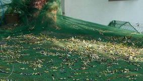 Sammeln von Oliven auf dem Netz, Zeitlupe In Ligurien-, Italien-, Taggiasca- oder Caitellier-Kulturvarietät ernten Olivenölproduk stock video footage