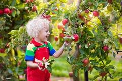 Sammelnapfel des kleinen Jungen im Fruchtgarten Stockbild