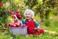 Sammelnapfel des kleinen Jungen im Fruchtgarten Stockbilder