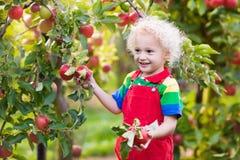 Sammelnapfel des kleinen Jungen im Fruchtgarten Lizenzfreies Stockbild
