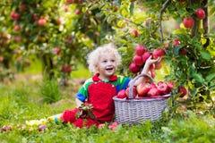 Sammelnapfel des kleinen Jungen im Fruchtgarten Lizenzfreies Stockfoto