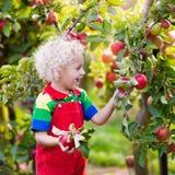 Sammelnapfel des kleinen Jungen im Fruchtgarten Lizenzfreie Stockfotos