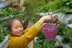 Sammelnerdbeeren des jungen Mädchens im Bauernhof Lizenzfreie Stockfotos