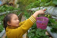 Sammelnerdbeeren des jungen Mädchens im Bauernhof Stockbild
