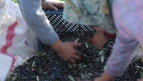 Sammelnoliven und Oliven zum Korb sich setzen stock footage
