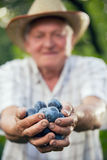 Sammelnpflaumen des älteren Mannes in einem Obstgarten Lizenzfreie Stockfotografie