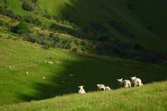 Sammelt Schafe an Stockfoto