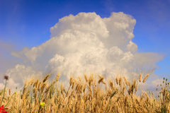 Sammertime: rural lanscape Cornfield topped by clouds..Apulia (ITALY) Royalty Free Stock Photo
