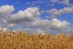 Sammertime: rural lanscape Cornfield topped by clouds..Apulia (ITALY) Stock Photography
