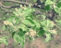 Sammetgräsplansidor på ett trädfilial-Apple träd Knoppar av bundna blommor med en rosa ton arkivbild