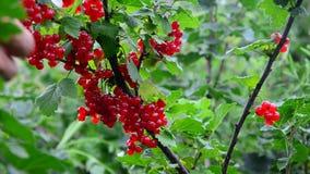 Sammlung der roten Johannisbeere sammelt reife rote Johannisbeerbeeren stock footage