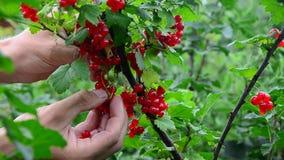 Sammlung der roten Johannisbeere sammelt reife rote Johannisbeerbeeren stock video